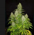 hulkberry-royal-queen-seeds.jpg