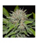 DELICIOUS SEEDS - Deep Mandarine CBD