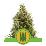 ROYAL QUEEN SEEDS - Royal AK Automatic®