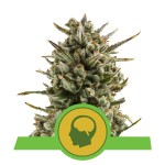 ROYAL QUEEN SEEDS - Amnesia Haze Automatic