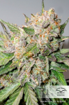 DUTCH PASSION - Auto Glueberry O.G.®