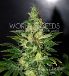 WORLD OF SEEDS - Chronic Haze