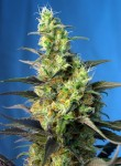 SWEET SEEDS - Ice Cool CBD