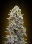00 SEEDS BANK - Auto Cheese Berry