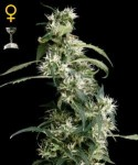 GREEN HOUSE SEEDS - Arjan's Ultra Haze #2