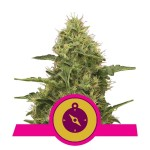 ROYAL QUEEN SEEDS - Northern Light