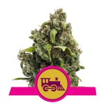 ROYAL QUEEN SEEDS - Candy Kush Express (Fast Flowering)