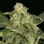 AMARANTA SEEDS - Power Haze