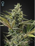GREEN HOUSE SEEDS - Super Lemon Haze Auto CBD