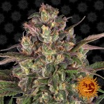 BARNEY'S FARM - Peyote Critical