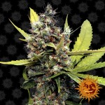 BARNEY'S FARM - Honey B