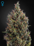 GREEN HOUSE SEEDS - Big Bang Autoflowering