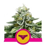 ROYAL QUEEN SEEDS -  Sherbet Queen