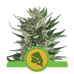 ROYAL QUEEN SEEDS - Royal Cheese Automatic