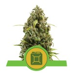 ROYAL QUEEN SEEDS - Diesel Automatic