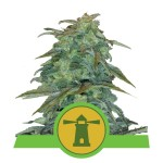 ROYAL QUEEN SEEDS - Royal Haze Automatic®
