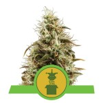 ROYAL QUEEN SEEDS - Royal Jack Automatic
