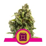 ROYAL QUEEN SEEDS - Sour Diesel