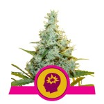 ROYAL QUEEN SEEDS - AMG - Amnesia Mac Ganja