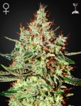 GREEN HOUSE SEEDS - K-Train