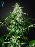 GREEN HOUSE SEEDS - Kalashnikova Automatic