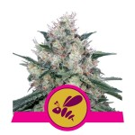 ROYAL QUEEN SEEDS - Honey Cream (Fast Flowering)