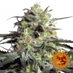 BARNEY'S FARM - Peyote Cookies
