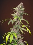 SWEET SEEDS - Red Mandarine F1 Fast Version