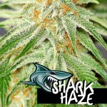 PURE SEEDS - Shark Haze