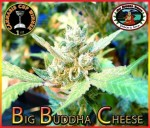 BIG BUDDHA SEEDS - Big Buddha Cheese