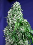 SWEET SEEDS - Big Devil F1 Fast Version