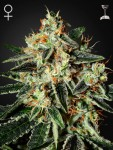 GREEN HOUSE SEEDS - Cheese