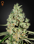 GREEN HOUSE SEEDS - Super Critical