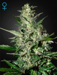 GREEN HOUSE SEEDS - Super Critical Auto