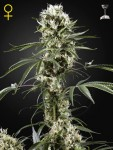 GREEN HOUSE SEEDS - Super Lemon Haze