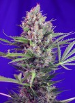 SWEET SEEDS - Cream Mandarine F1 Fast Version