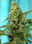 SWEET SEEDS - Green Poison F1 Fast Version