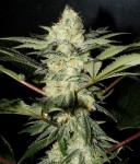 SWEET SEEDS - S.A.D. Sweet Afgani Delicious F1 Fast Version