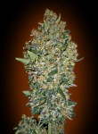 00 SEEDS BANK - Feminized Collection #1