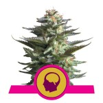 ROYAL QUEEN SEEDS - Amnesia Haze®
