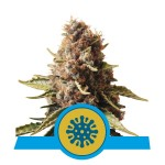 ROYAL QUEEN SEEDS - Euphoria CBD