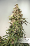 DUTCH PASSION - CBD Charlotte's Angel ®
