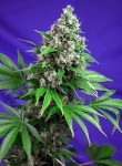 SWEET SEEDS - Killer Kush F1 Fast Version