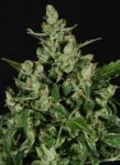 CBD Seeds -  Auto Widow