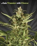 AUTO SEEDS - Auto Pounder with Cheese
