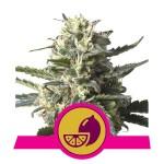 ROYAL QUEEN SEEDS - Lemon Shining Silver Haze