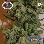 BIG BUDDHA SEEDS - Blue Cheese Automatic