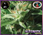 BIG BUDDHA SEEDS - Super Automatic