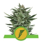 ROYAL QUEEN SEEDS - Quick One Automatic