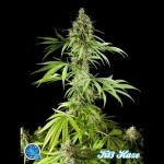 PHILOSOPHER SEEDS - K-13 Haze